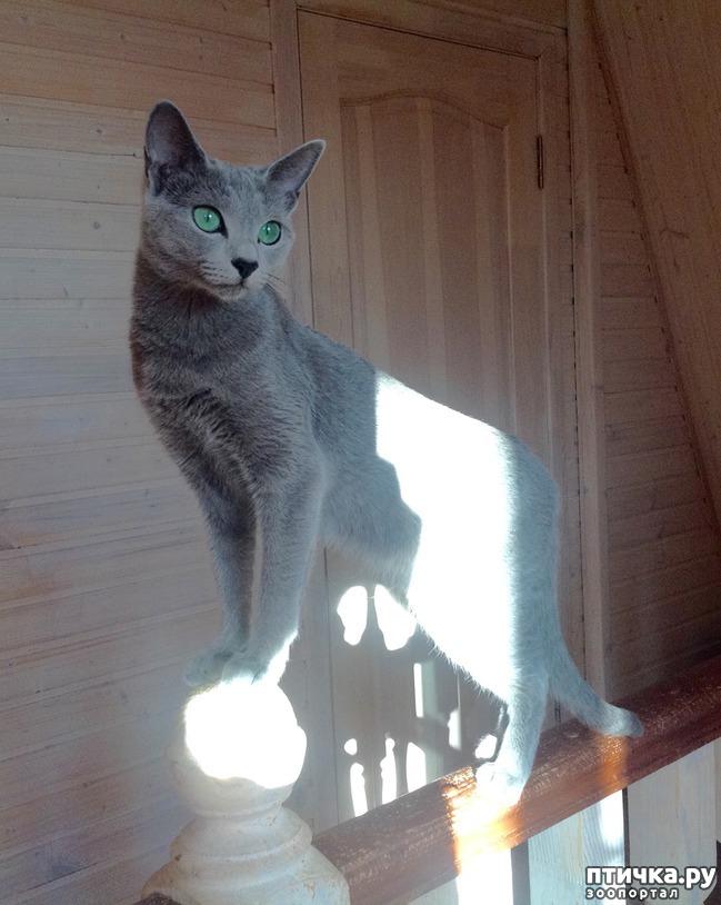фото 1: Глаза русской голубой кошки