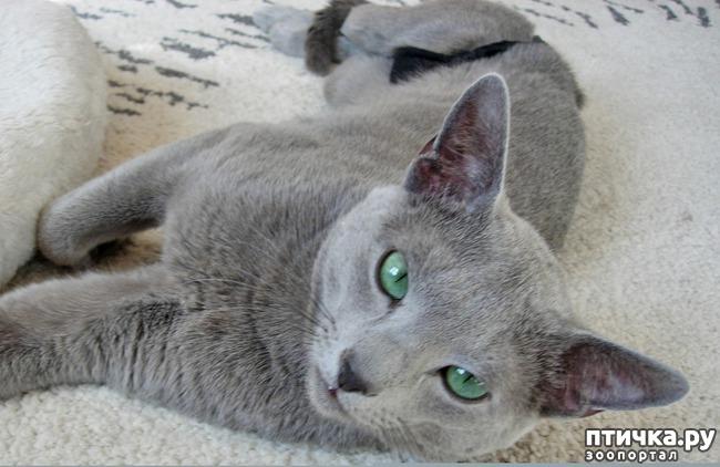 фото 2: Глаза русской голубой кошки