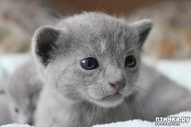 фото 3: Глаза русской голубой кошки
