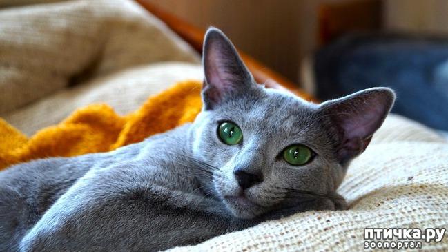 фото 4: Глаза русской голубой кошки