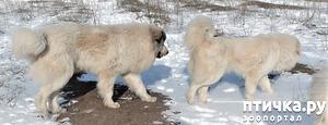 фото: Новый помёт пиренейской горной собаки. Есть свободные щенки!