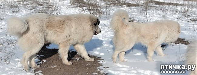 фото 1: Новый помёт пиренейской горной собаки. Есть свободные щенки!