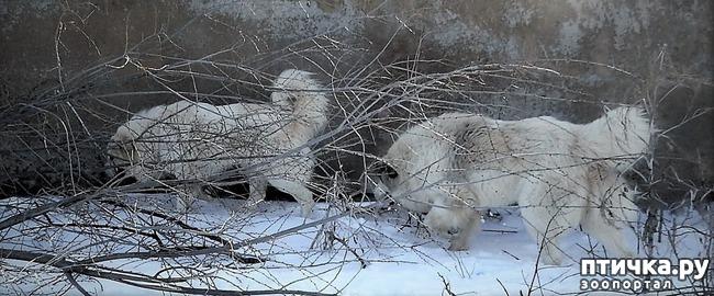 фото 2: Новый помёт пиренейской горной собаки. Есть свободные щенки!