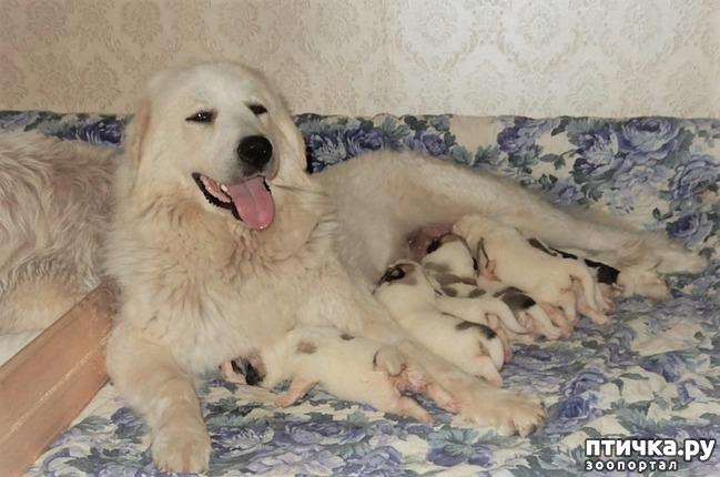 фото 3: Новый помёт пиренейской горной собаки. Есть свободные щенки!