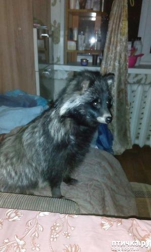 фото: Енотовидная собака. Знакомьтесь мой домашний дикий питомец, Роксана - моя дикая любовь