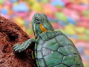 фото: Минимум о содержании красноухих черепах