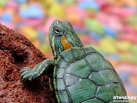 фото 1: Минимум о содержании красноухих черепах