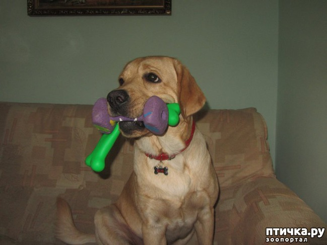 фото 11: Жизнь с лабрадором!