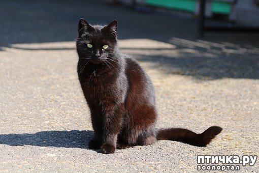 фото 2: Черные кошки: темная история с генетикой, особенности характера и прочая мистика