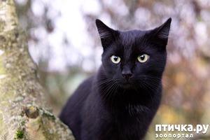 фото: Черные кошки: темная история с генетикой, особенности характера и прочая мистика