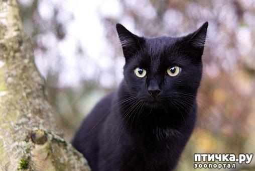 фото 1: Черные кошки: темная история с генетикой, особенности характера и прочая мистика