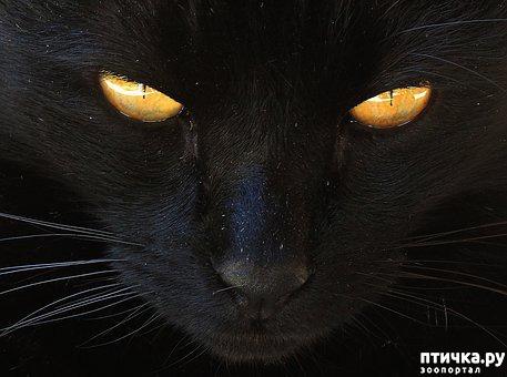 фото 3: Черные кошки: темная история с генетикой, особенности характера и прочая мистика