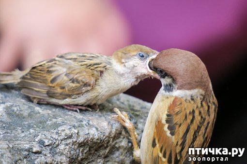 фото 2: Как помочь птенцу вороны и надо ли это делать?