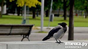 фото: Как помочь птенцу вороны и надо ли это делать?