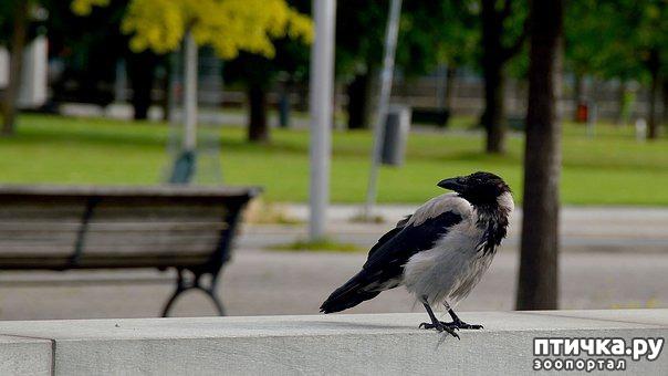 фото 1: Как помочь птенцу вороны и надо ли это делать?