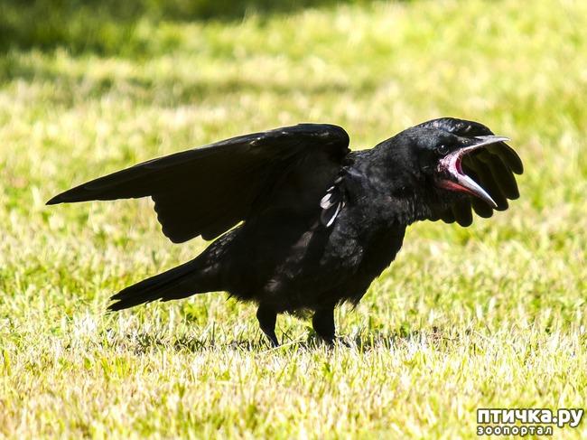 фото 4: Как помочь птенцу вороны и надо ли это делать?
