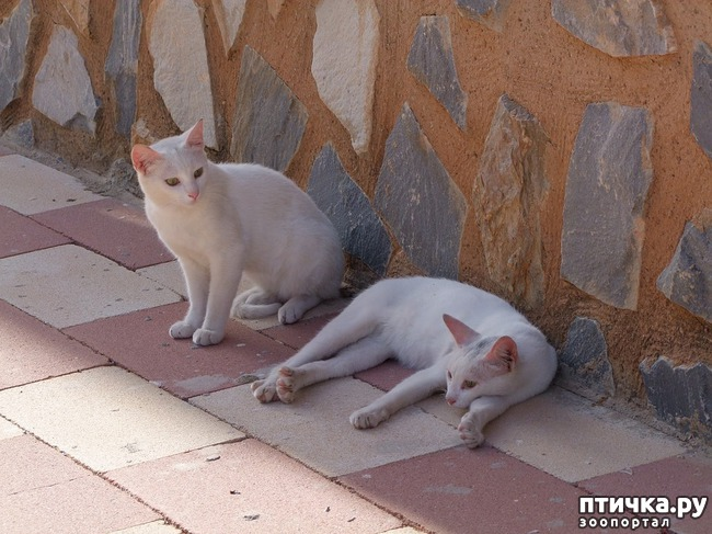 фото 2: Белые кошки: генетика, характер и белая магия