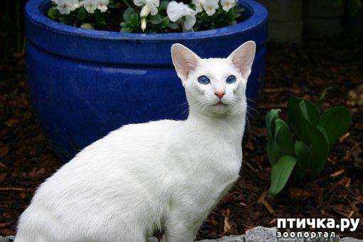 фото 1: Белые кошки: генетика, характер и белая магия