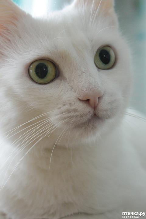 фото 5: Белые кошки: генетика, характер и белая магия