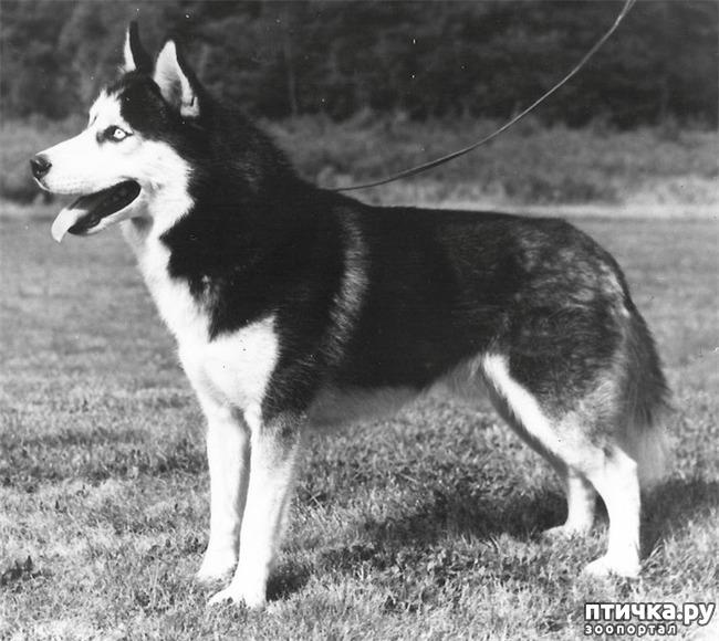 фото 2: Черно-белые, голубоглазые – история появления и успеха
