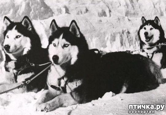 фото 3: Черно-белые, голубоглазые – история появления и успеха