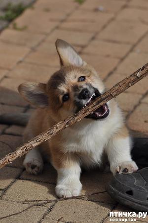 фото: Как отучить щенка кусаться.