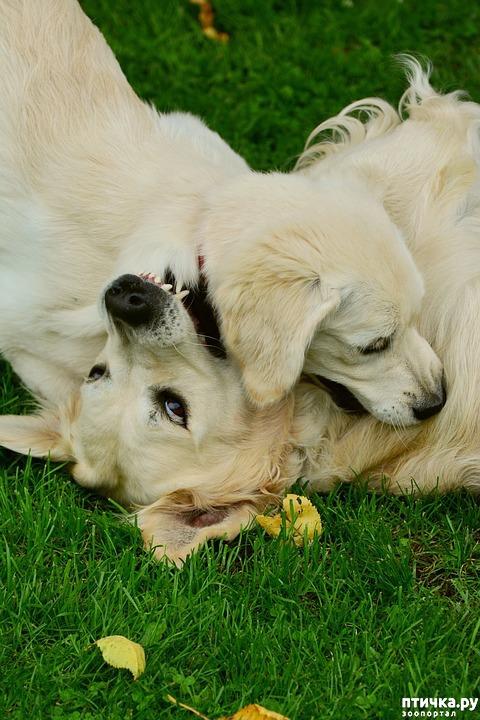 фото 2: Как отучить щенка кусаться.