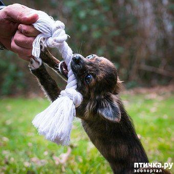 фото 3: Как отучить щенка кусаться.