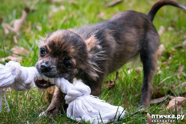 фото 4: Как отучить щенка кусаться.