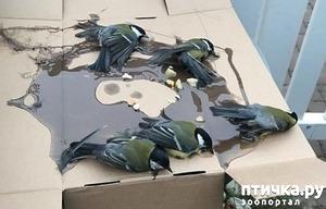 фото: Синички угодили в ловушку для крыс