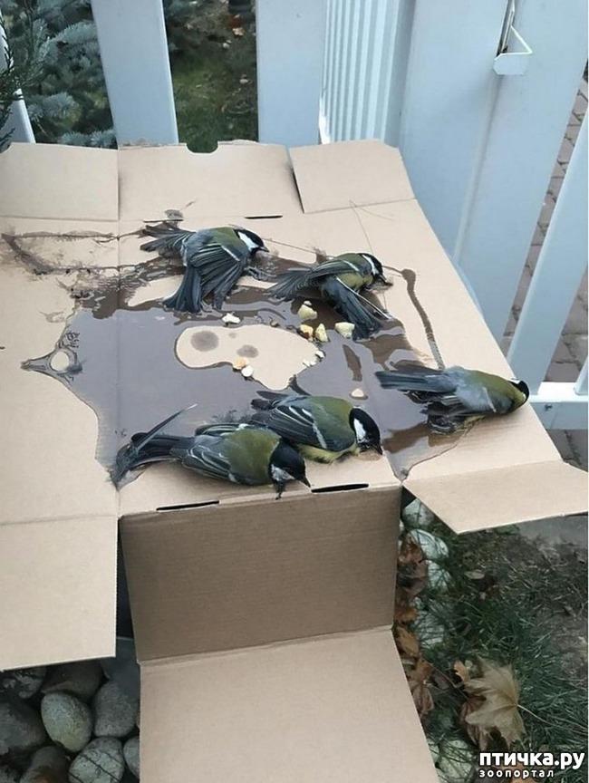 фото 2: Синички угодили в ловушку для крыс