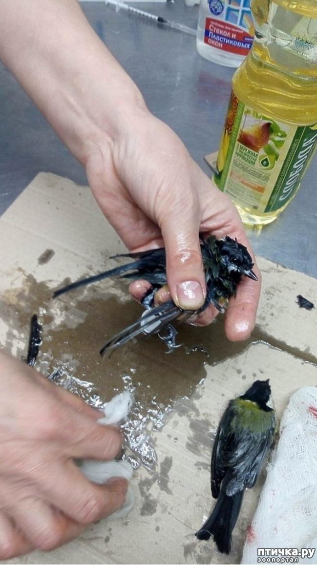 фото 3: Синички угодили в ловушку для крыс