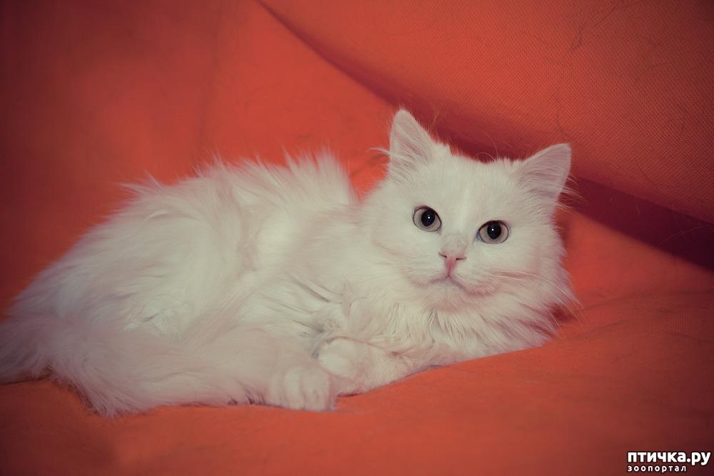 потолочный сибирская белый котенок фото известна