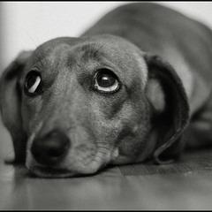 фото: Пёс по-собачьи предан людям...