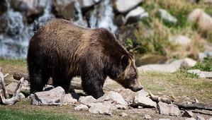 фото: Не стреляйте в бурых медведей!
