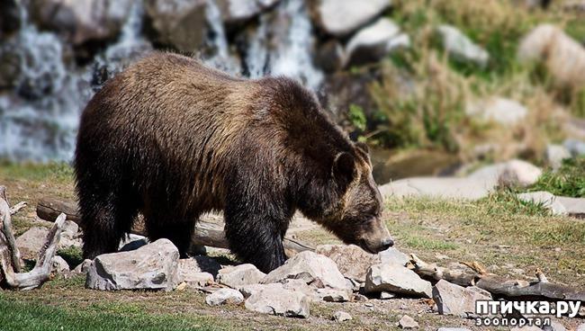 фото 1: Не стреляйте в бурых медведей!