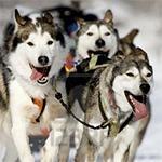 фото: Сибирский хаски – немного о породе