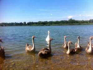 фото: Лебеди на Голубых озёрах.