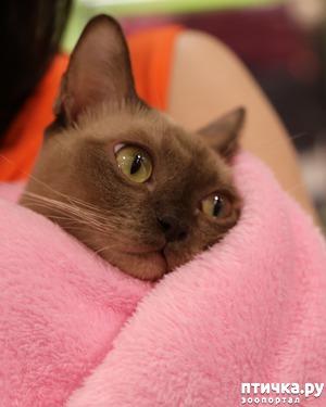 фото: Здоровье бурманской кошки
