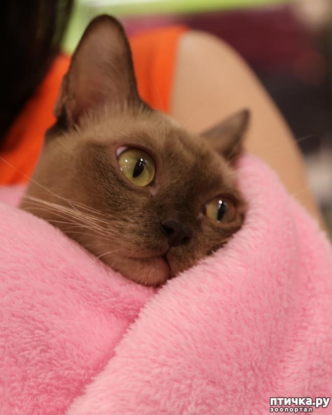 фото 1: Здоровье бурманской кошки