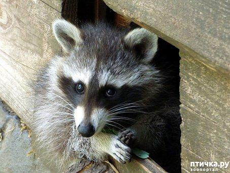 """фото 5: """"Хочу енота!"""". Как выжить в квартире с маленьким хищником."""