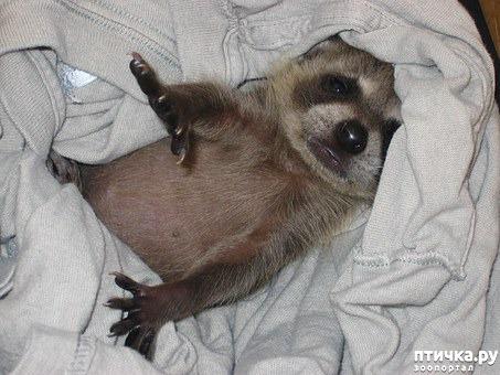 """фото 7: """"Хочу енота!"""". Как выжить в квартире с маленьким хищником."""