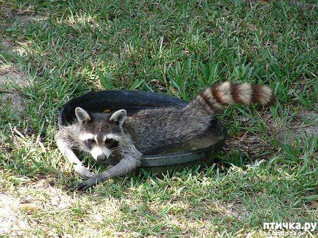 """фото 8: """"Хочу енота!"""". Как выжить в квартире с маленьким хищником."""