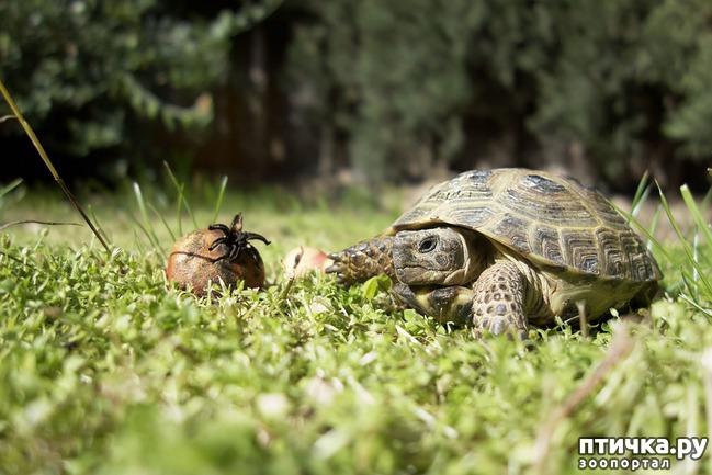 фото 1: Спячка среднеазиатской черепахи