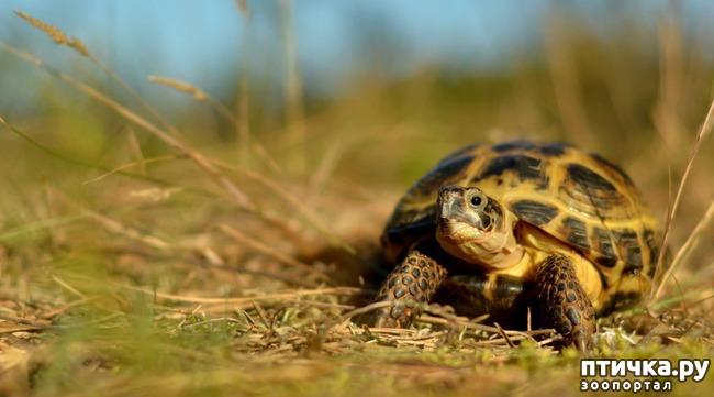 фото 2: Спячка среднеазиатской черепахи