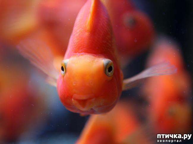 фото 3: Рыбы попугаи.