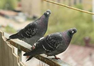 фото: Сизые голуби в городе