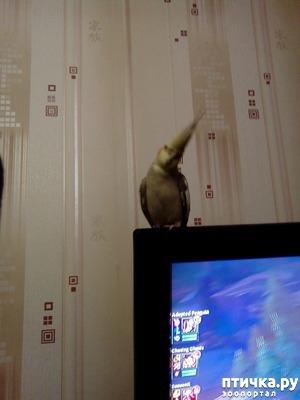 фото: Любимый питомец корелла Ева.