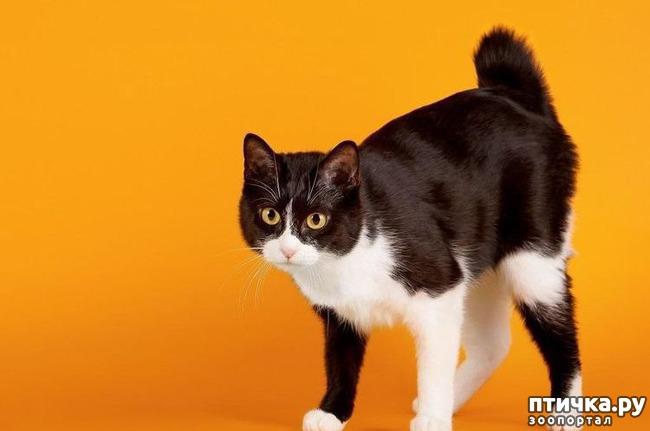 фото 1: Породы кошек, выведенные в Японии