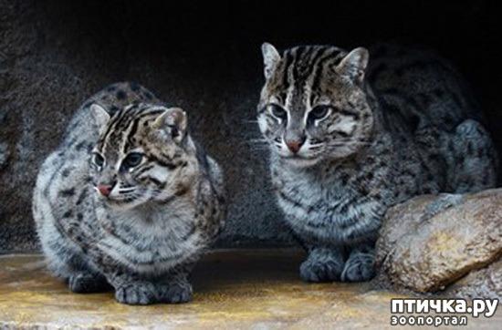 фото 4: Породы кошек, выведенные в Японии